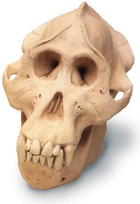Orangutan Skull w- std