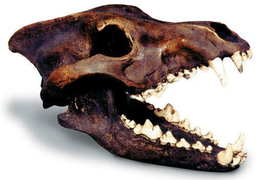 Dire Wolf Skull Tar Pit
