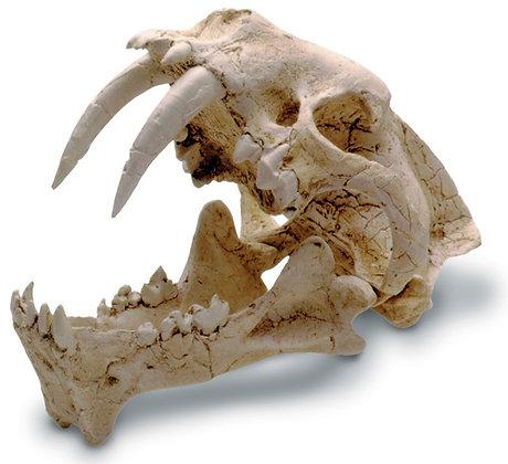 Hoplophoneous Skull