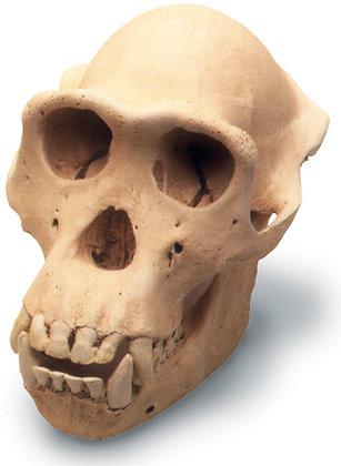 Chimpanzee skull w- std