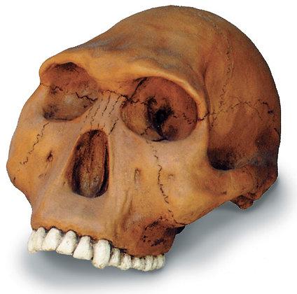 Homo Habilis Cranium