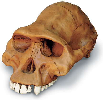 Aust. Afarensis Cranium