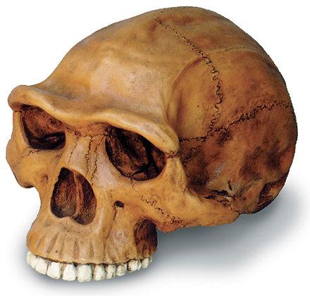 Homo Erectus Cranium w- stand