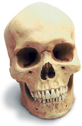 Human Male Skull w-  std