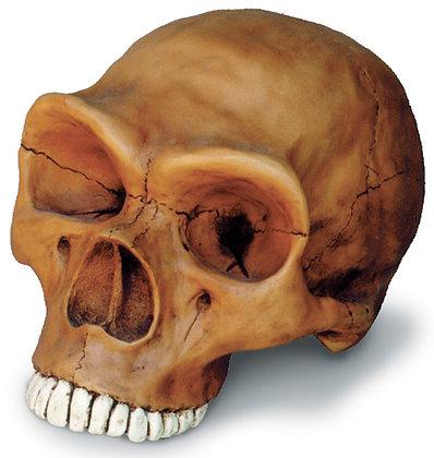 Neandertal Cranium