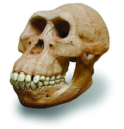 Aust. Afarensis Skull