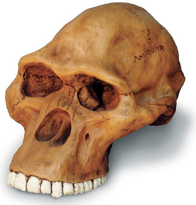 Aust. Africanus Cranium w- stand