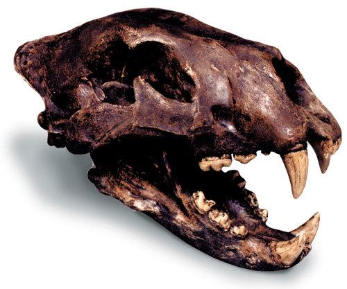 American Lion Skull w-  std