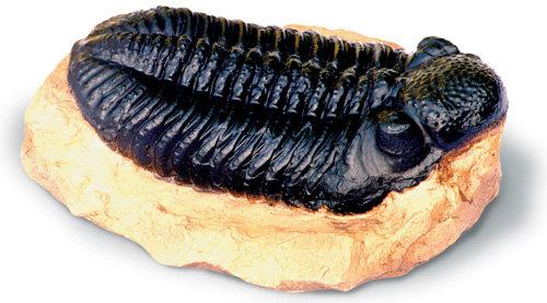Large Trilobite
