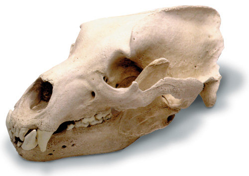 Grizzly Bear Skull w- std