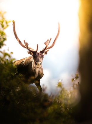 Antler in Nature