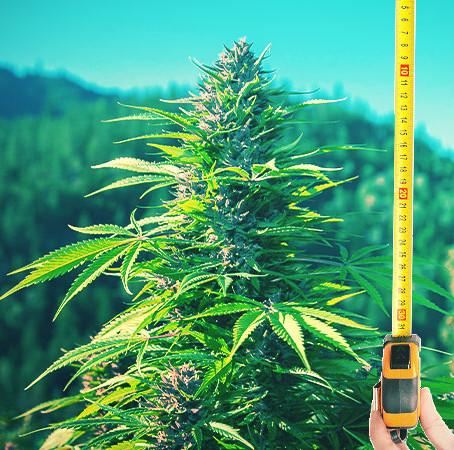 Kann Cannabis helfen, CO2 zu reduzieren und dem Klimawandel vorzubeugen?
