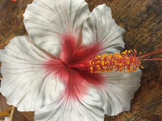 Jumbo Hibiscus Sei