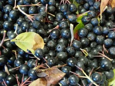 Aronia berries!