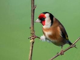 'Goldfinch' by Malachy Coney