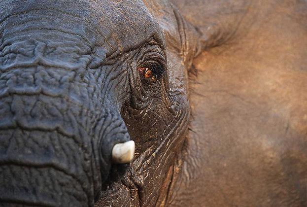 A pele do Elefante