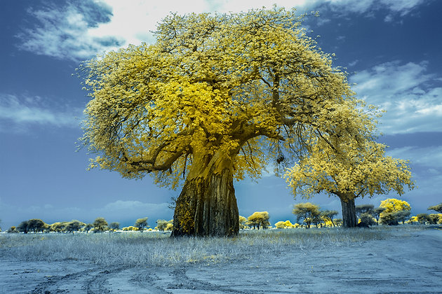 Baobab In Infrared