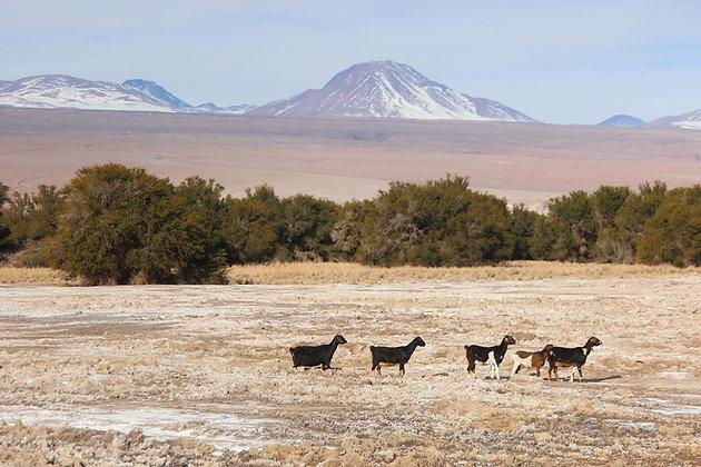 Atacama goat