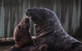 seal couple 2.jpg