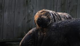 seal couple.jpg