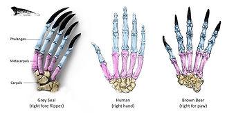 hand & claw bones.jpg