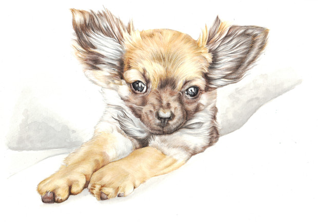 Colour realistic drawing of a papillon puppy in bed   picky pencil pet portrait artist