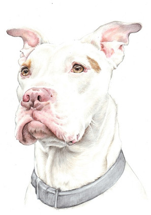 Colour head and shoulder realistic Stafford Bull Terrier pencil drawing | picky pencil pet portrait artist