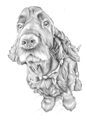 Black and white sitting cocker spaniel portrait birthday gift | picky pencil pet portrait artist