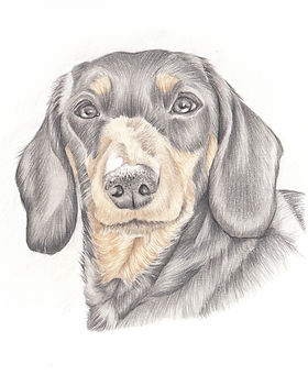 mini size drawing for your dog head and shoulder pencil drawing | aberdeenshire artist picky pencil