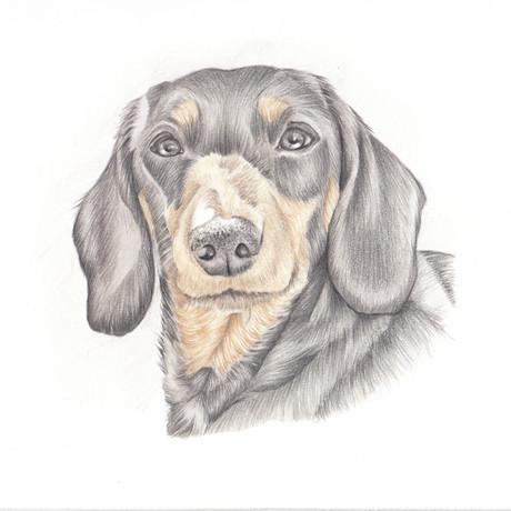 Realistic colour pencil drawing pet portrait   picky pencil