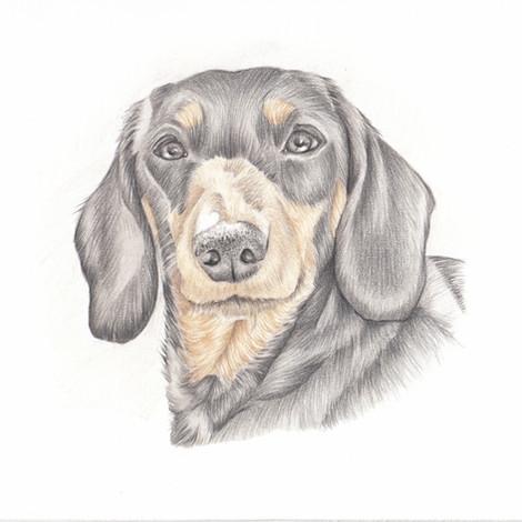 Realistic colour pencil drawing pet portrait | picky pencil