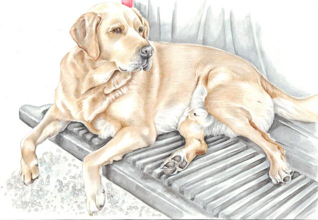 Colour pencil yellow labrador drawing Christmas gift | picky pencil pet portrait artist