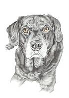 black labrador pencil fine art realistic drawing   picky pencil pet portraits