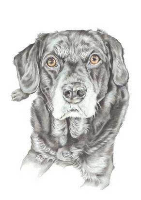 Head and shoulder hand drawn photo realistic labrador portrait   picky pencil artist