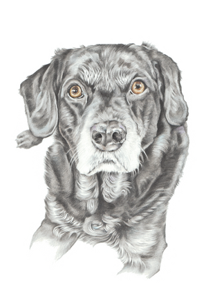 Head and shoulder hand drawn photo realistic labrador portrait | picky pencil artist