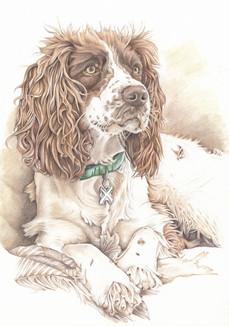colour sepia tone springer spaniel realistic dog drawing | picky pencil pet portrait artist