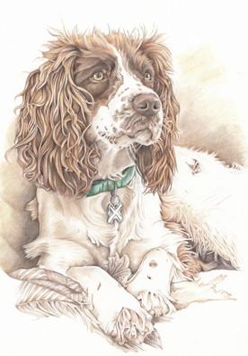 colour sepia tone springer spaniel realistic dog drawing   picky pencil pet portrait artist
