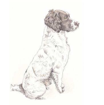 Realistic colour tan working dog sitting full length spaniel   picky pencil pet portrait artist