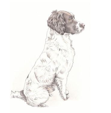 Realistic colour tan working dog sitting full length spaniel | picky pencil pet portrait artist