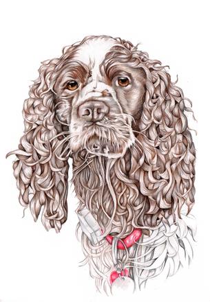 Colour pencil spaniel pet portrait commission | picky pencil artist
