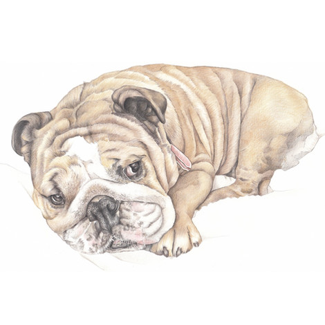 colour pencil realistic portrait drawing of a Bull dog lying done | picky pencil artist