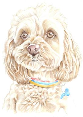 colour pencil realistic Lhasa apso toy dog portrait   picky pencil pet portrait commission artist