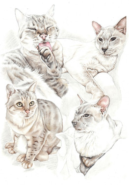 Colour pencil two cats collage drawing in different poses | picky pencil pet portrait artist