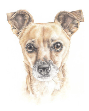 Colour pencil head and shoulder chihuahua dog realistic drawing   picky pencil pet portraits artist