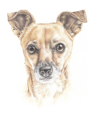 Colour pencil head and shoulder chihuahua dog realistic drawing | picky pencil pet portraits artist