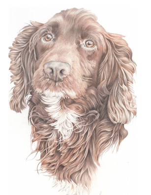 Fox red head and shoulder cocker spaniel drawing   Birthday gift  picky pencil pet portrait artist