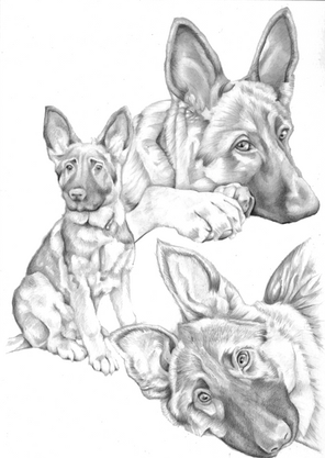 Collage graphite pencil drawing of a german sheperd in different poses   picky pencil artist