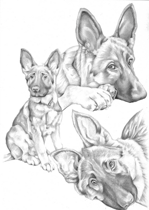 Collage graphite pencil drawing of a german sheperd in different poses | picky pencil artist