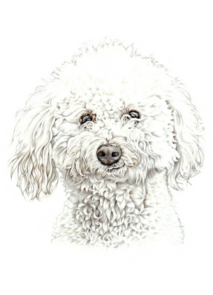 hand drawn poodle head and shoulder pet portrait drawing | picky pencil artist