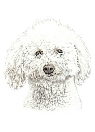 hand drawn poodle head and shoulder pet portrait drawing   picky pencil artist